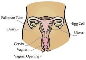 Woman's Reproductive Organs Diagram